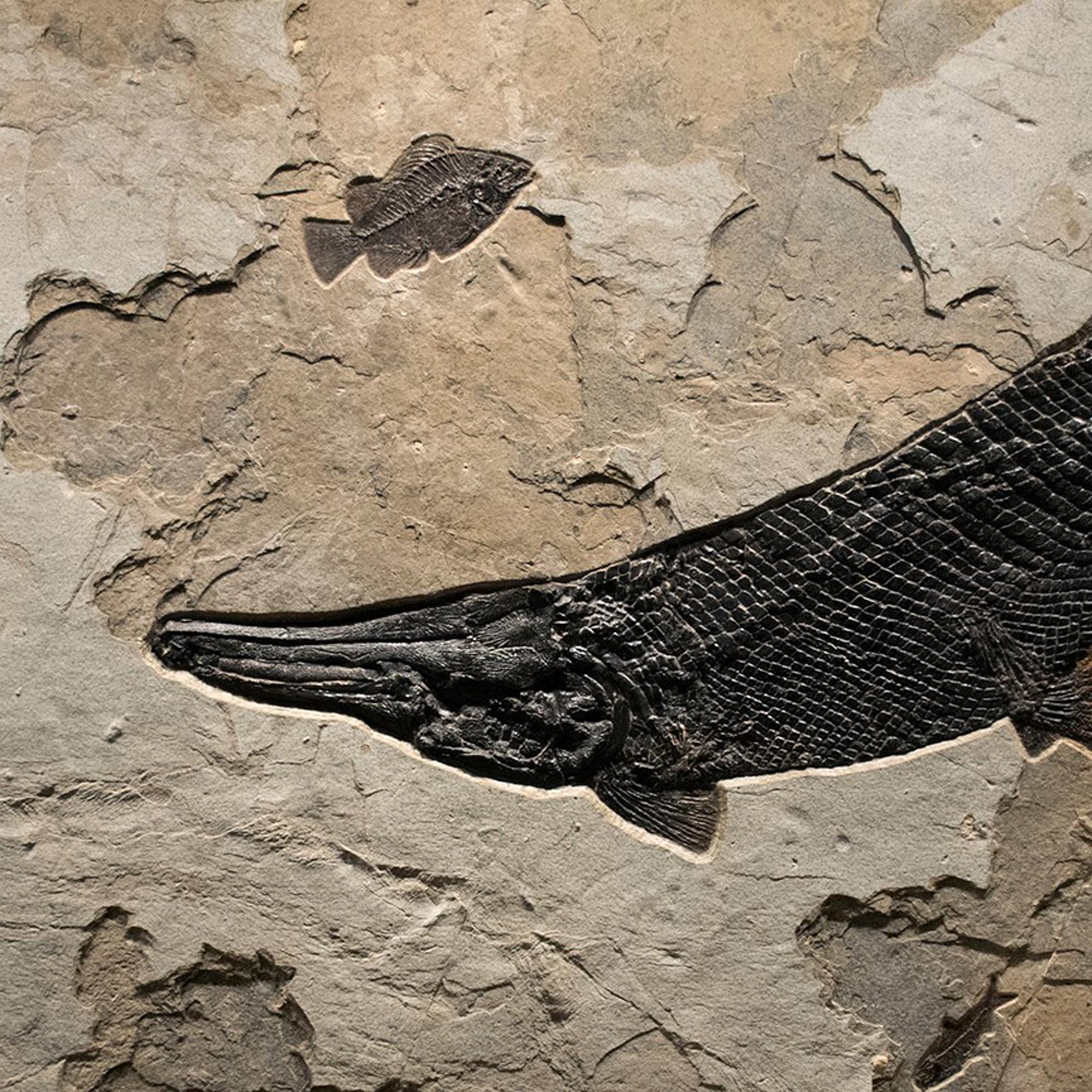 Gar Fish Fossil