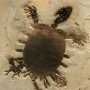 Turtle Trionyx Softshell Fossil Mural 2
