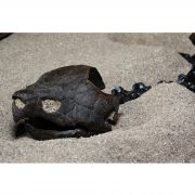 Fossil Alligator Snapping Turtle 6