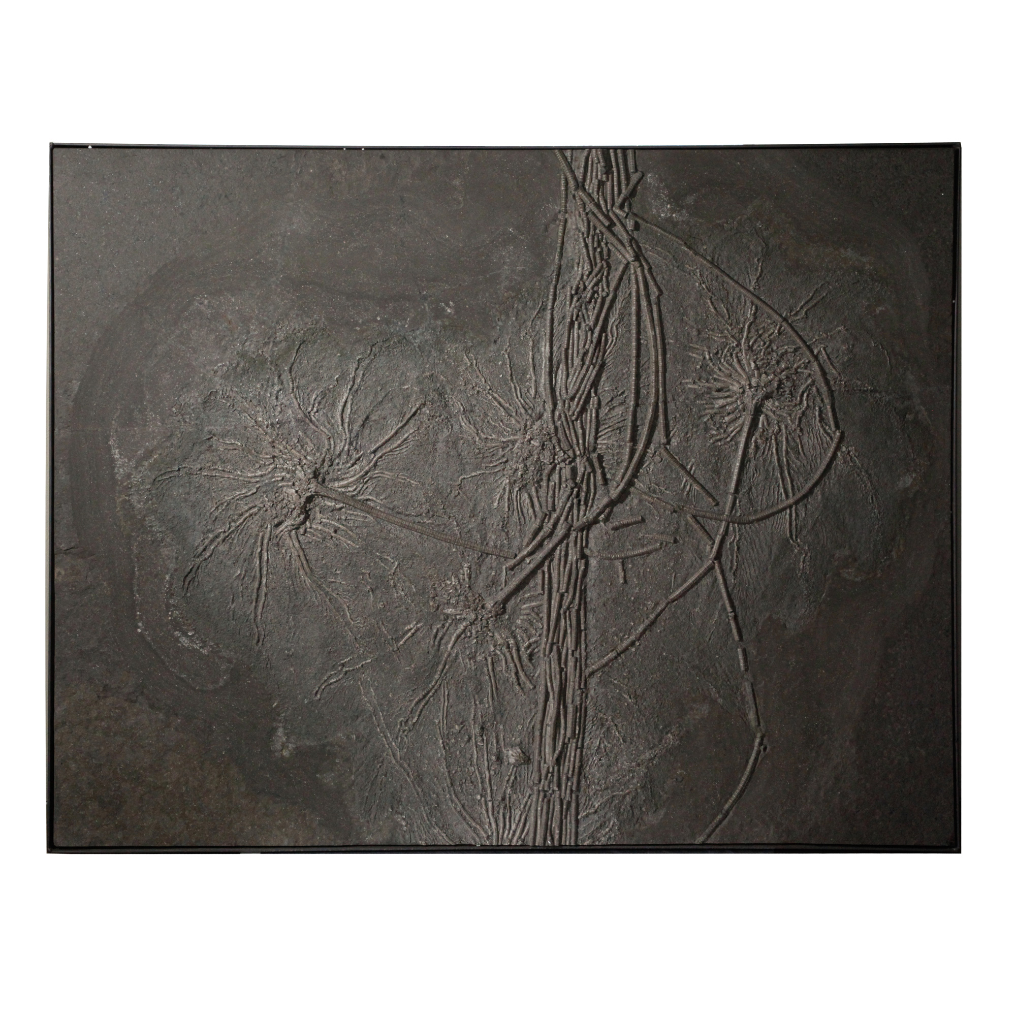 Fossil Crinoid Plate