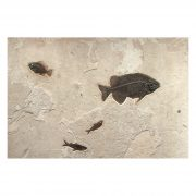 Fossil Accent Mural Q130807500