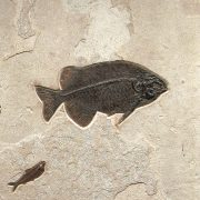 Fossil Accent Mural Q130807500 2