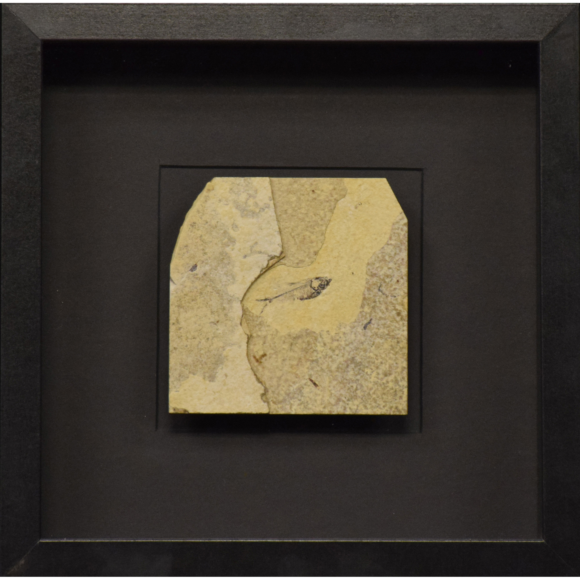 Fossil Shadow Box 171004601