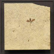 Fossil Shadow Box 171004603 3