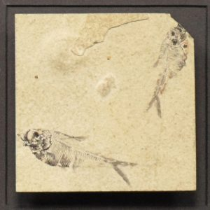 Fossil Shadow Box 171004605