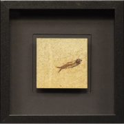 Fossil Shadow Box 171004606