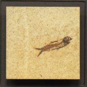 Fossil Shadow Box 171004606 3