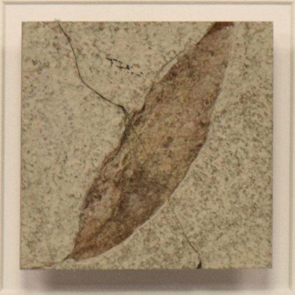 Fossil Shadow Box 171004612