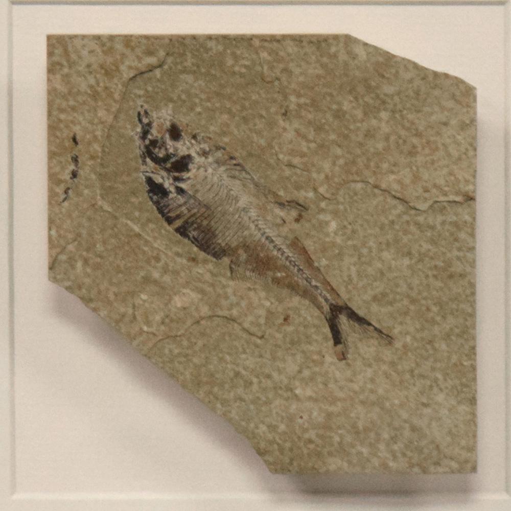 Fossil Shadow Box 171004615