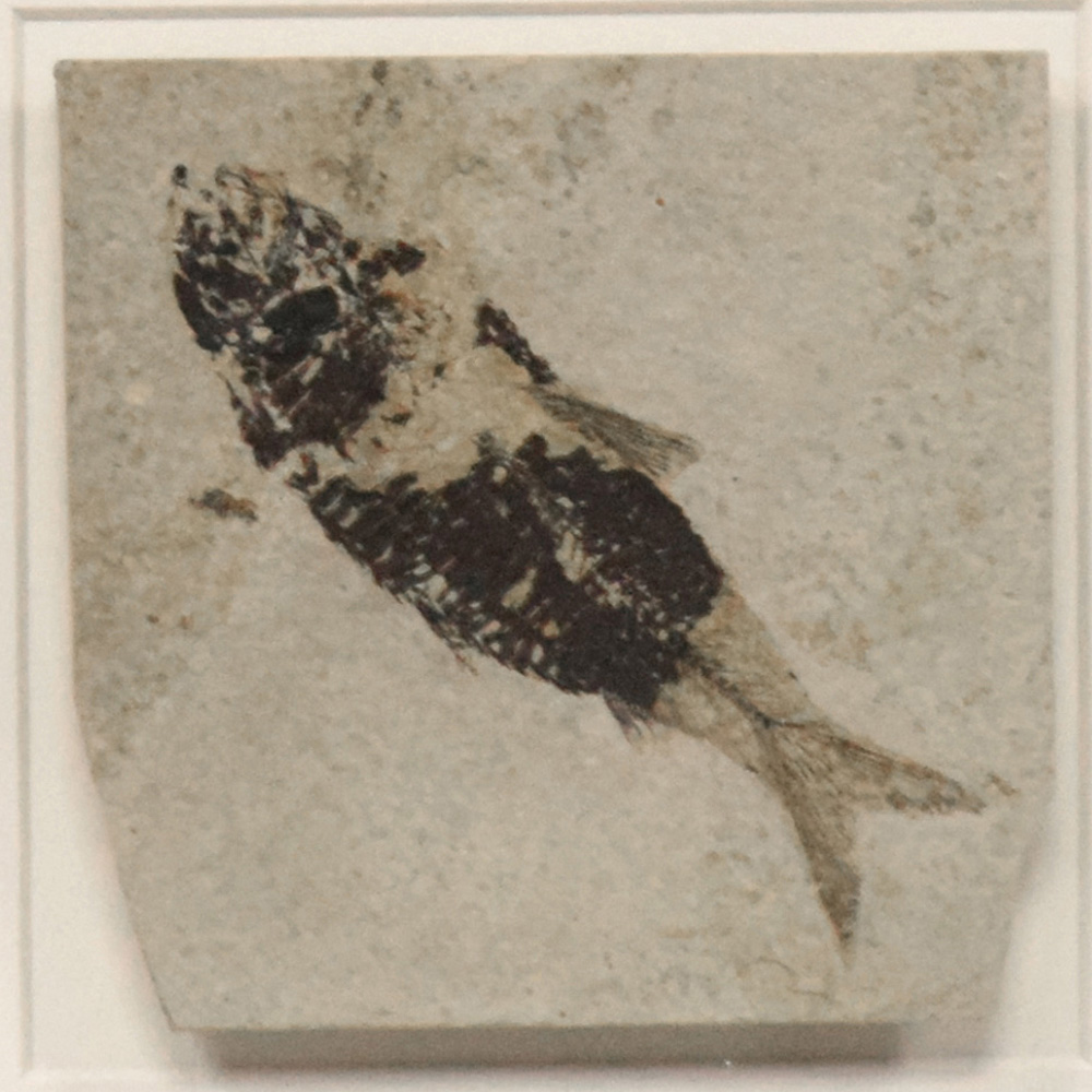 Fossil Shadow Box 171004620