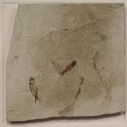 Fossil Shadow Box 171004626 3