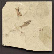 Fossil Shadow Box 171004631 3