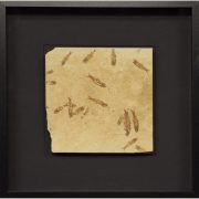 Fossil Shadow Box 171004629