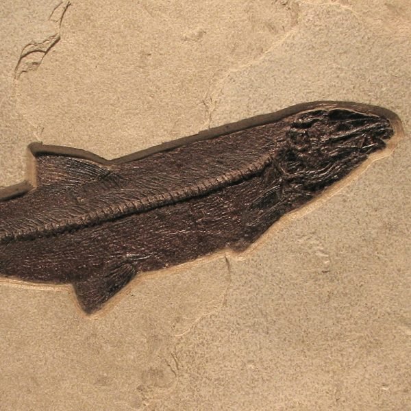 Fossil Tile (Natural) CP1624_N065
