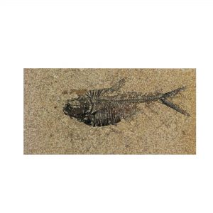 Fossil Tile (Honed) DL48_H033