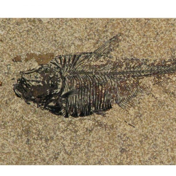 Fossil Tile (Honed) DL48_H033