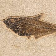 Fossil Tile (Natural) DL48_N203 3