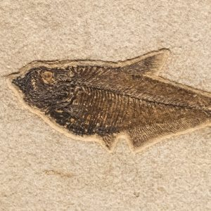 Fossil Tile (Natural) DL48_N203
