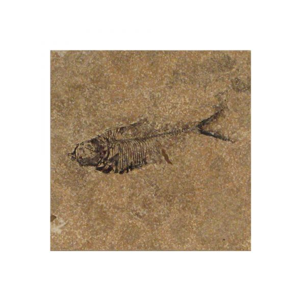 Fossil Tile (Honed) DL66_H027