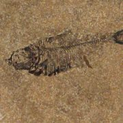 Fossil Tile (Honed) DL66_H027 3