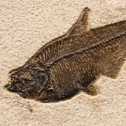 Fossil Tile (Natural) DL66_N161 3