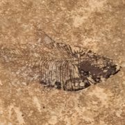 Fossil Tile (Honed) DR48_H109 3
