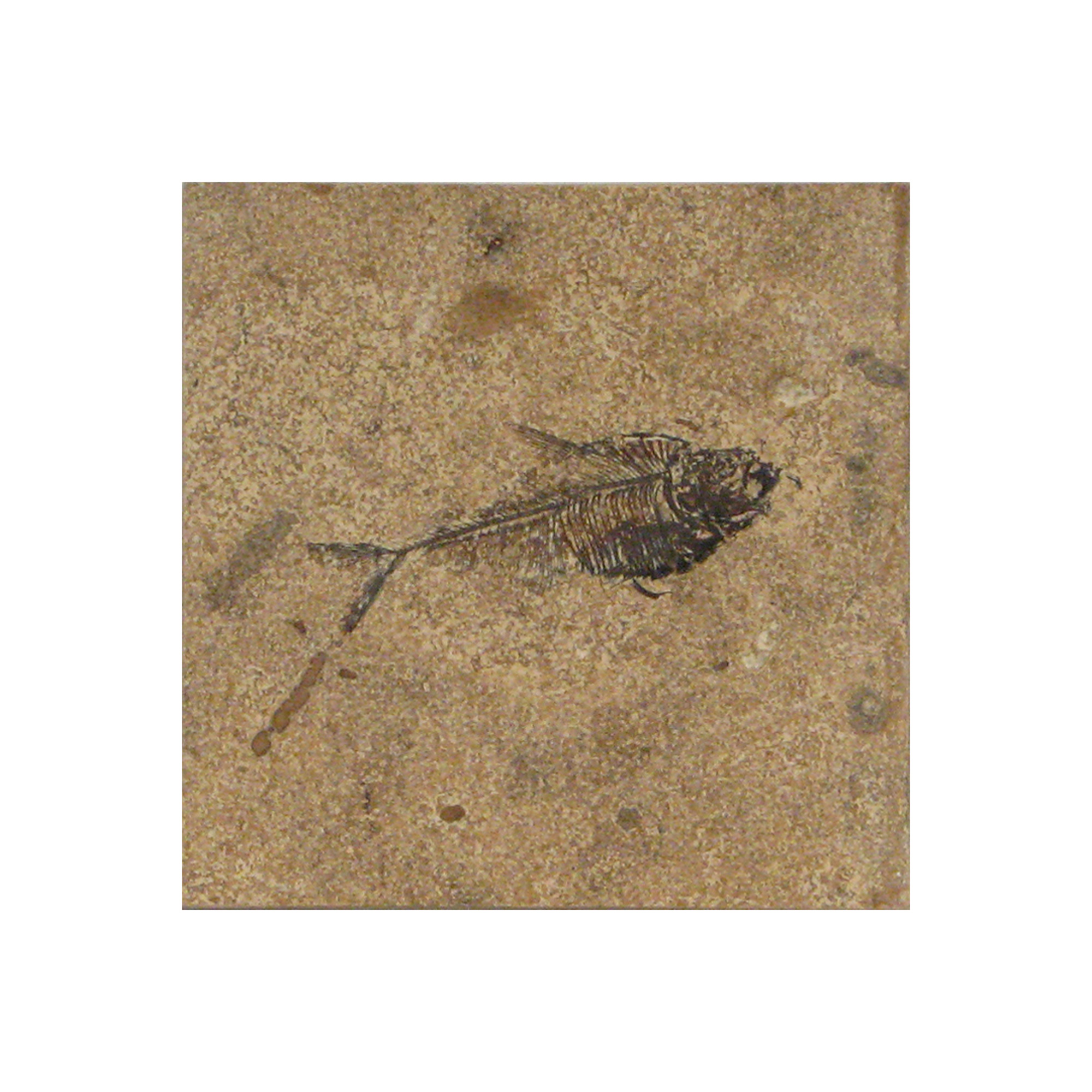 Fossil Tile (Honed) DR66_H029