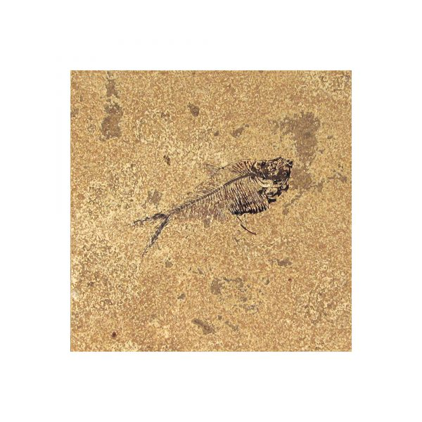 Fossil Tile (Honed) DR66_H080
