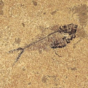 Fossil Tile (Honed) DR66_H080