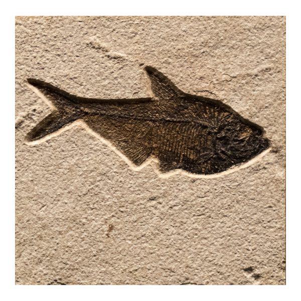 Fossil Tile (Natural) DR66_N164