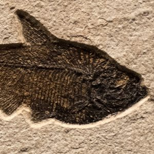 Fossil Tile (Natural) DR66_N164