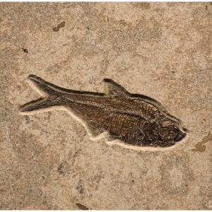 Fossil Tile (Combination) DR66_S219