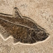 Fossil Tile (Combination) DR66_S221 3
