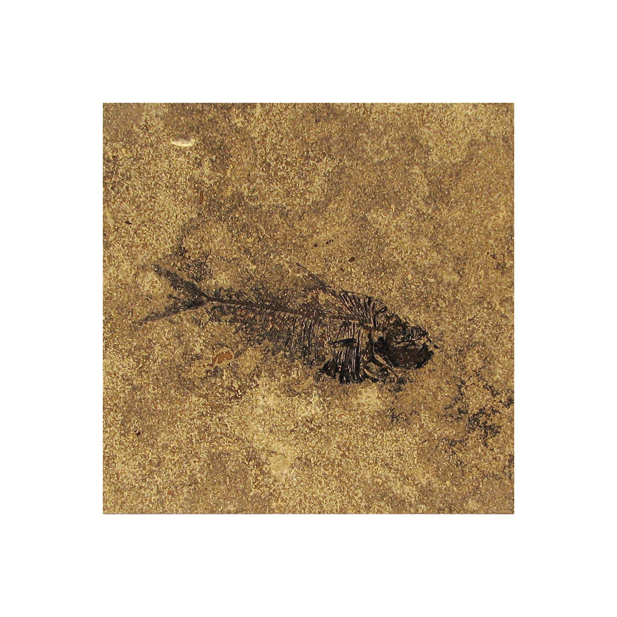 Fossil Tile (Honed) DR88_H066