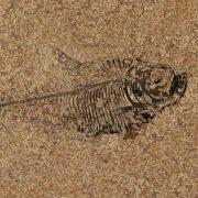 Fossil Tile (Honed) DR88_H114 3