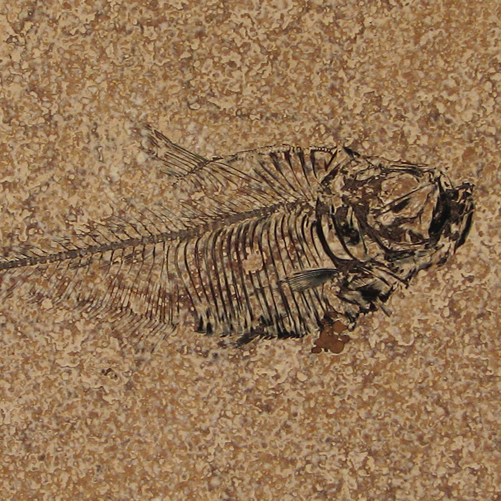 Fossil Tile (Honed) DR88_H114
