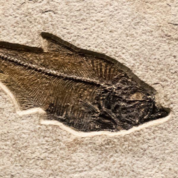 Fossil Tile (Natural) DR88_N168