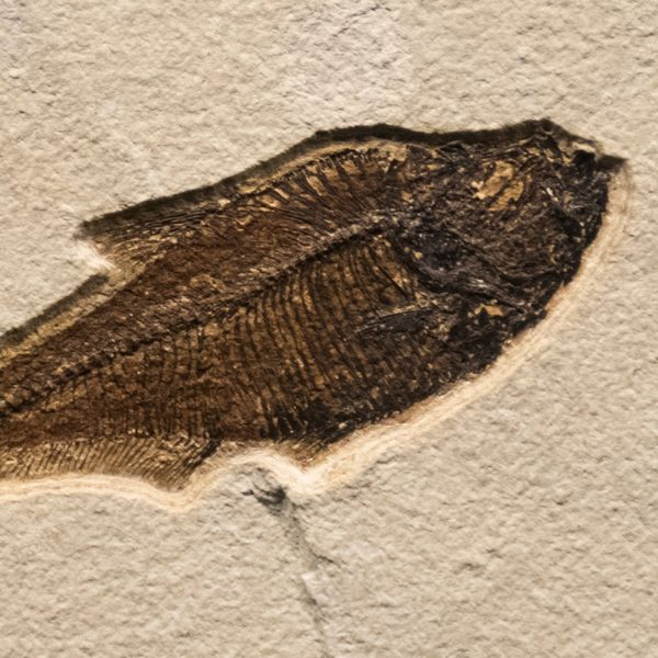 Fossil Tile (Natural) DR88_N205