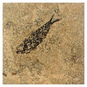 Fossil Tile (Honed) KL66_H127