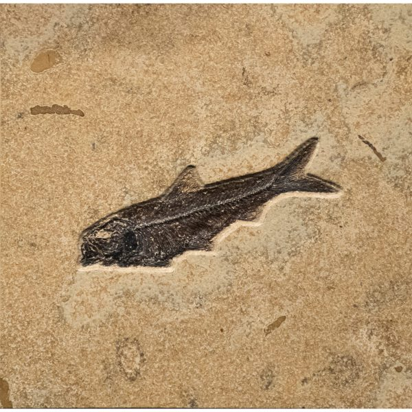 Fossil Tile (Combination) KL88_S215c