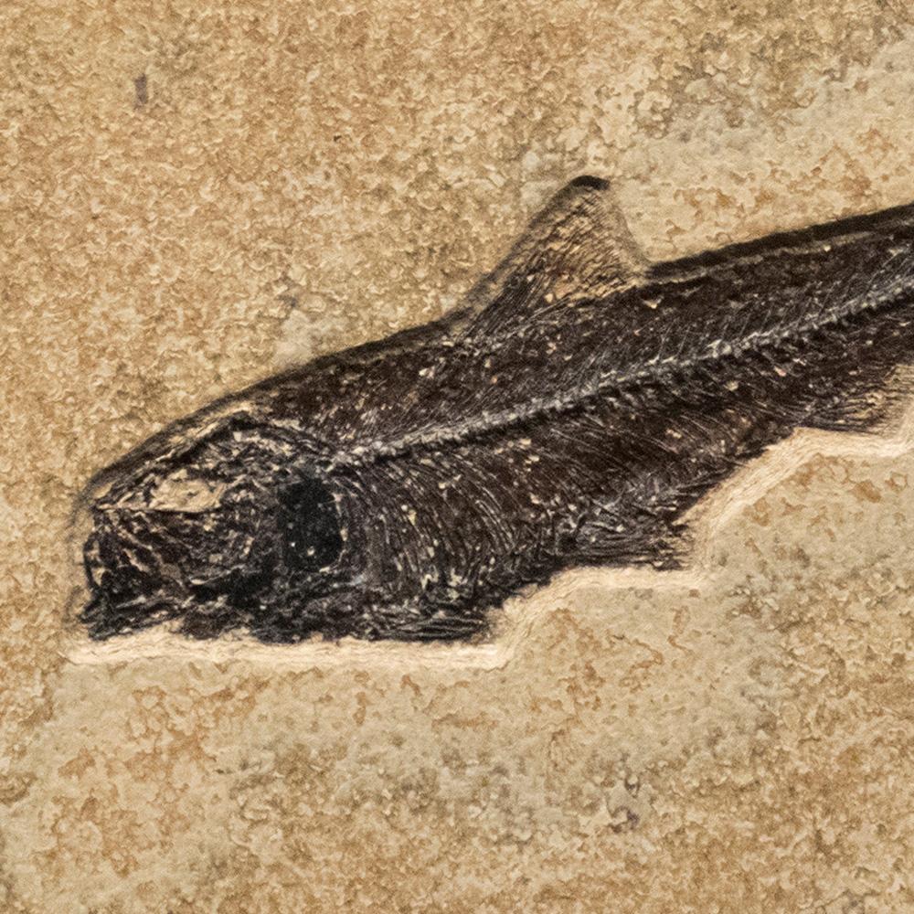Fossil Tile (Combination) KL88_S215c