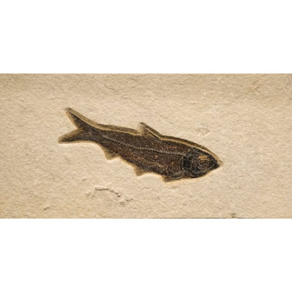 Fossil Tile (Natural) KR48_N209