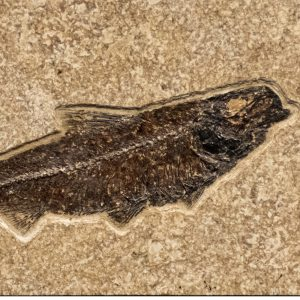 Fossil Tile (Combination) KR48_S228