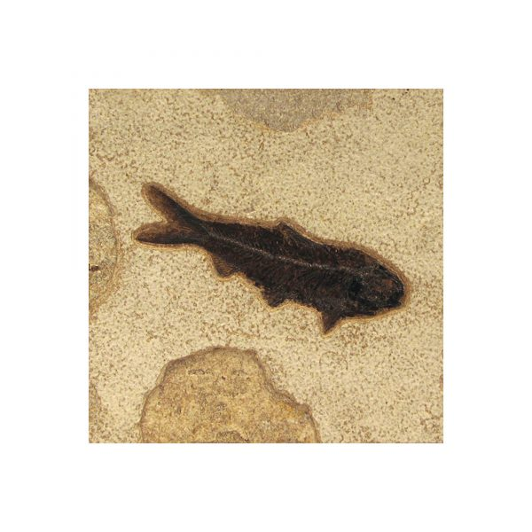 Fossil Tile (Natural) KR66_N075