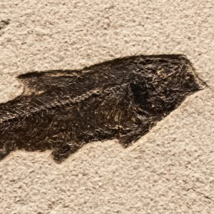 Fossil Tile (Natural) KR66_N159