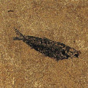 Fossil Tile (Honed) KR88_H068