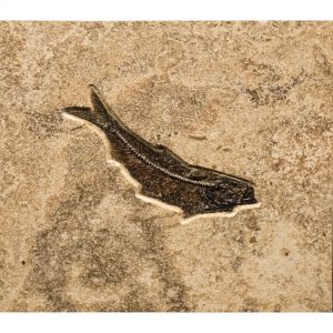 Fossil Tile (Combination) KR88_S236