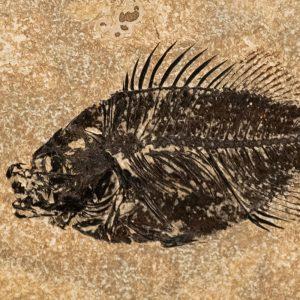 Fossil Tile (Honed) PL48_H234
