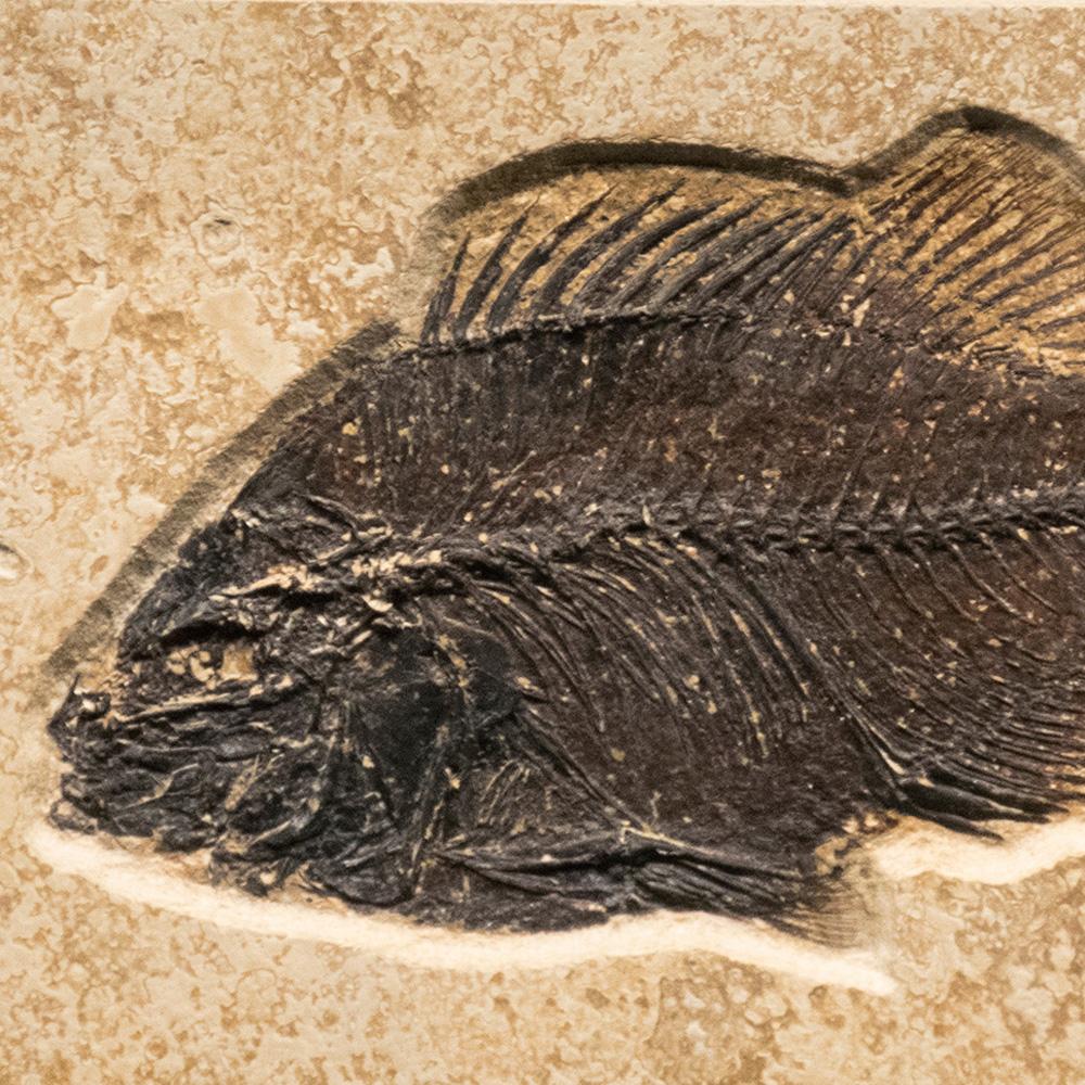 Fossil Tile (Combination) PL48_S206