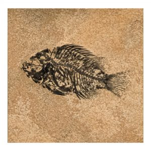 Fossil Tile (Honed) PL66_H132
